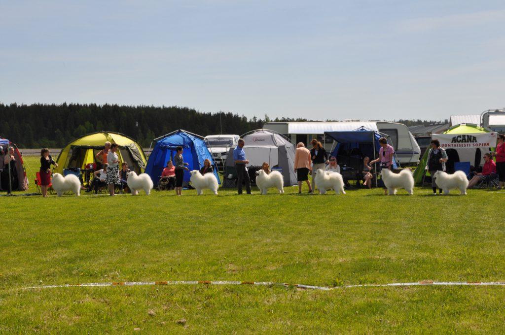 Näyttelykehässä seisoo 7 koiraa